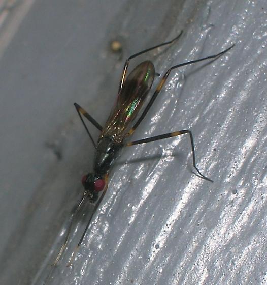 Taeniaptera trivittata? - Rainieria antennaepes