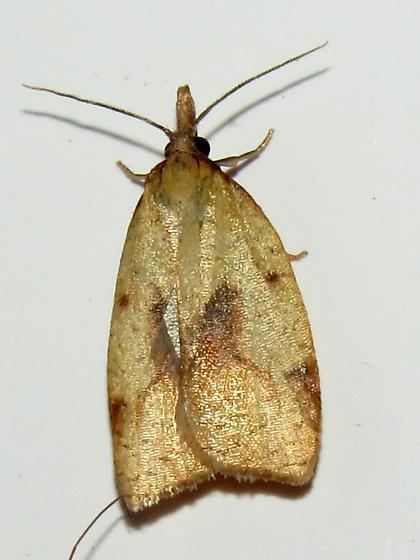Mosaic Sparganothis Moth - Sparganothis xanthoides
