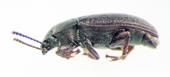 Unknown Beetle - Blapstinus metallicus