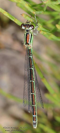 Coenagrionidae