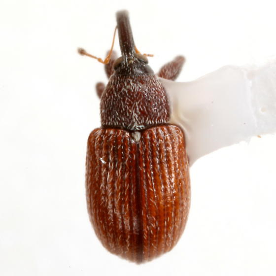 Anthonomus rufipennis LeConte - Anthonomus rufipennis