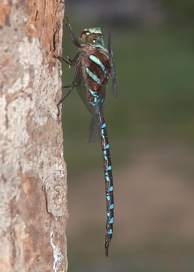 Black-tipped Darner - Aeshna tuberculifera - male