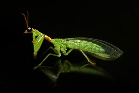 Green Mantidfly - Zeugomantispa minuta