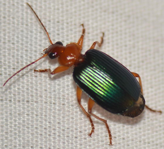 Could this be a Lebia in the tricolor group? - Lebia grandis