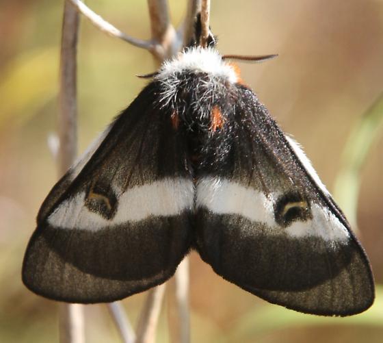 Hemileuca sp - Fen/Bog Buck Moth - Hemileuca maia - female
