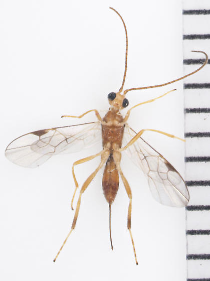 Braconidae, ventral - Meteorus - female
