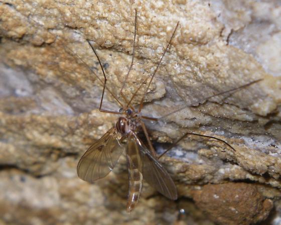 Fungus Gnat? - Macrocera