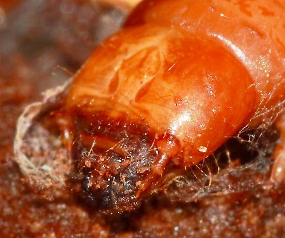 Larva - Synchroa