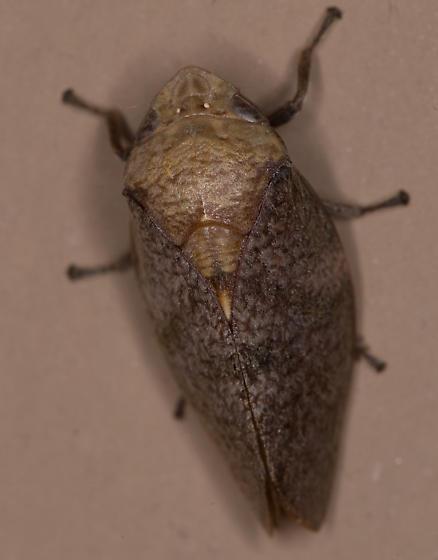 South Texas bug.. - Cephisus variolosus
