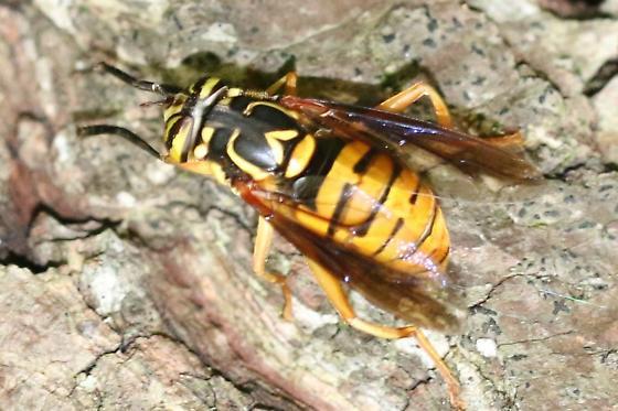 Syrphid Fly - Spilomyia alcimus - female