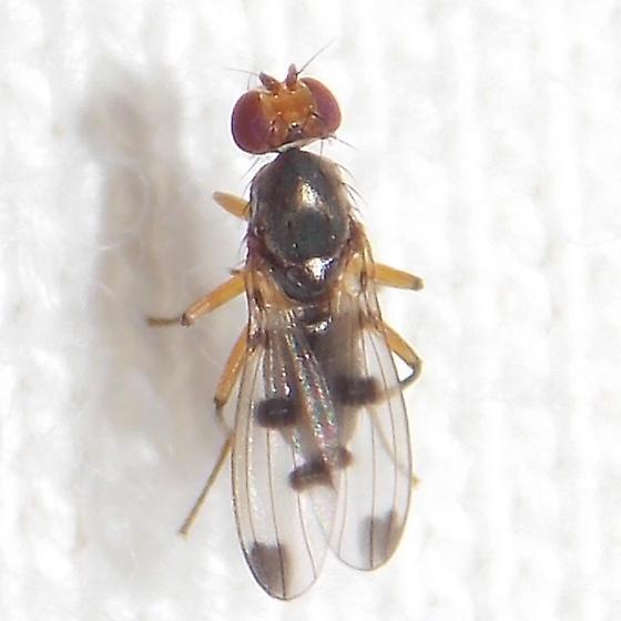 fly - Geomyza tripunctata