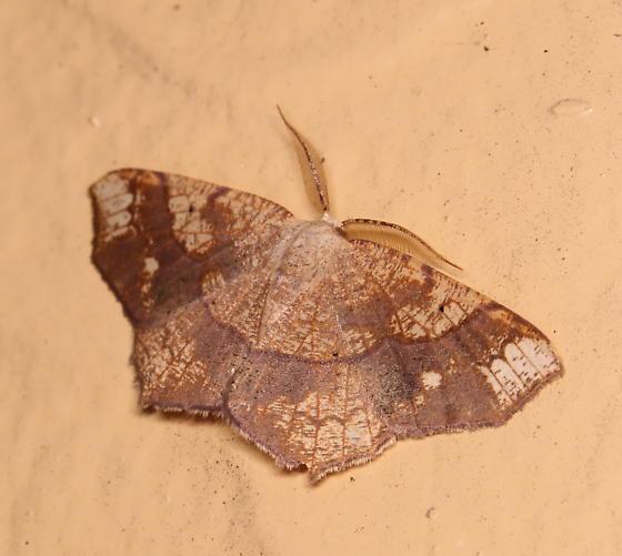 Besma quercivoraria - male