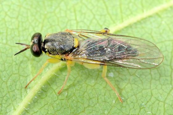Xylomyid - Solva pallipes - female