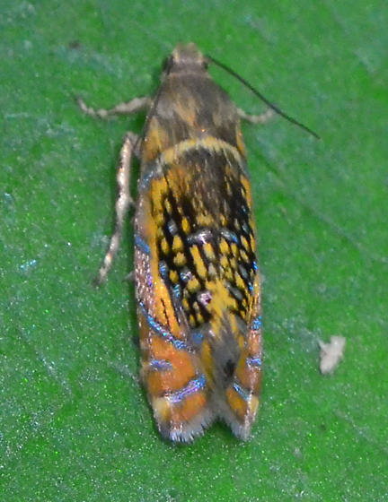 colorful tortricid moth - Glyphipterix quadragintapunctata