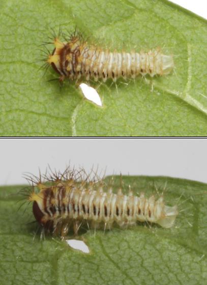 Polyphemus, 1st instar - Antheraea polyphemus