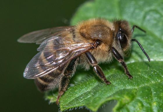 bee - Apis mellifera - female