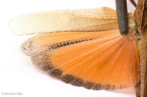 Tomonotus ferruginosus - male