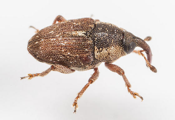 Weevil - Linogeraeus perscitus - female