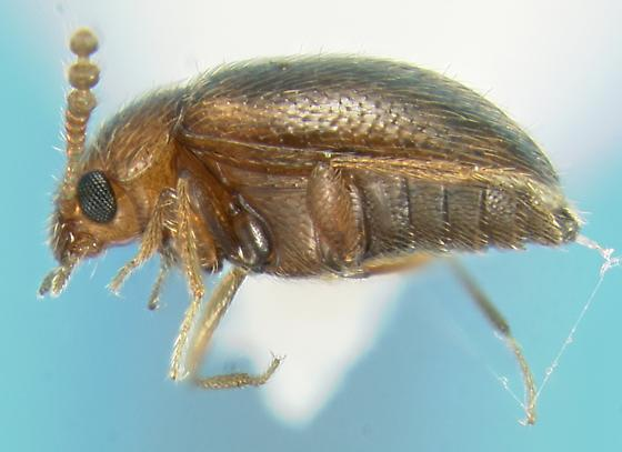 Mycetophagid - Thrimolus minutus