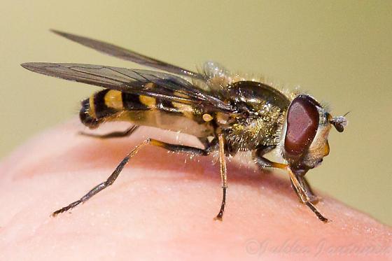 Hoverfly sp - Parasyrphus tarsatus - male