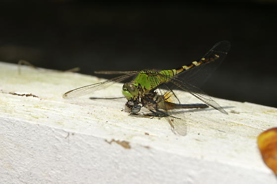 Dragonfly eating head of other dragon fly. - Erythemis simplicicollis