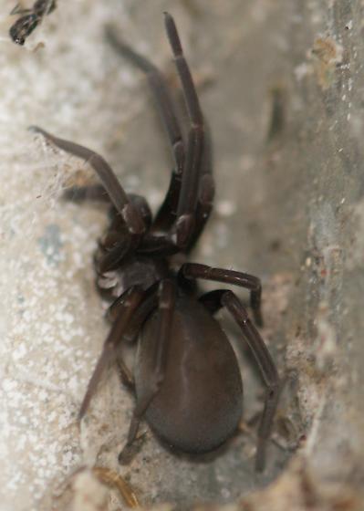 Large Spider 1 - Kukulcania hibernalis