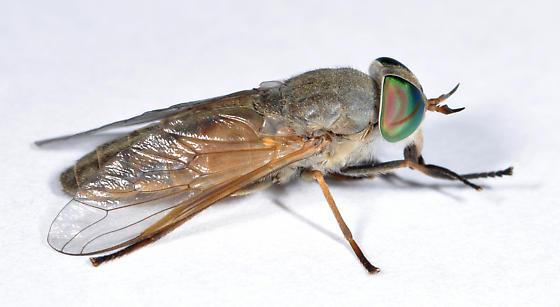 Tabanus  - Tabanus conterminus - female