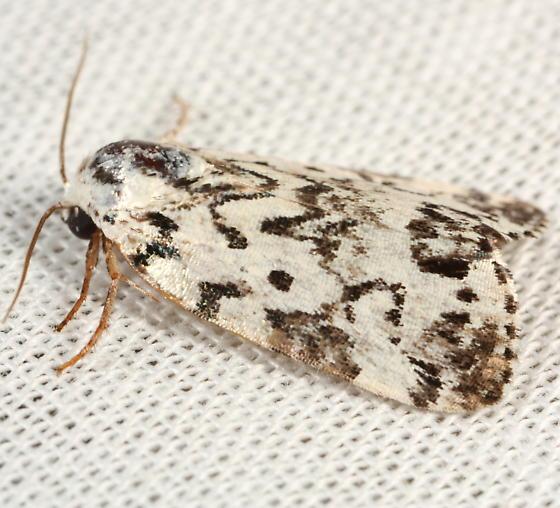 White moth with dark markings - Polygrammate hebraeicum
