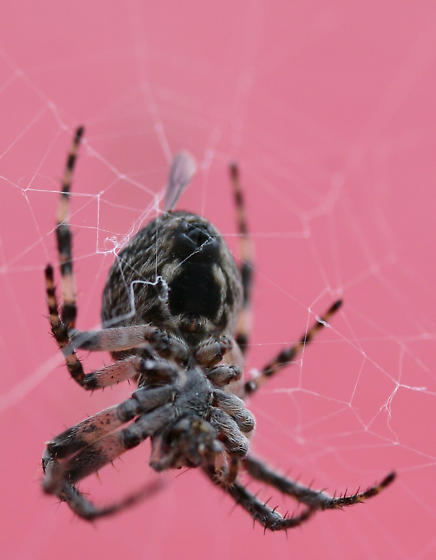 Gray Cross Spider - Larinioides sericatus