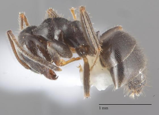Lasius worker - Lasius niger