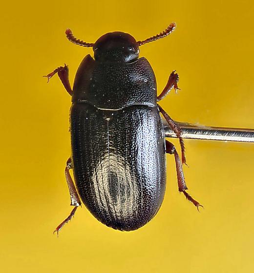 Another tenebrionid ? - Alphitobius diaperinus