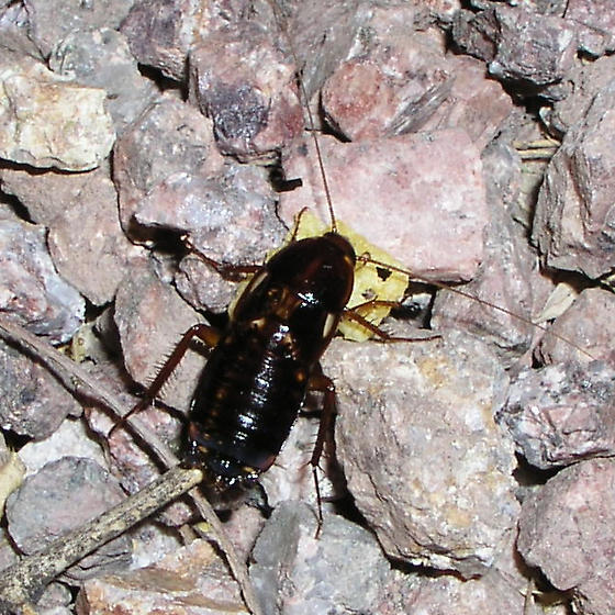 Cockroach with Corn Chip - Shelfordella lateralis - female