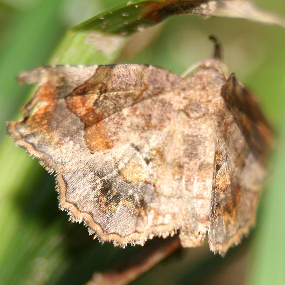 Decorated Owlet Moth - 8490 - Left Wing Dorsal - Pangrapta decoralis