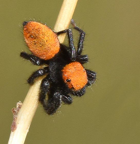 Apache Jumping Spider - Phidippus apacheanus? - Phidippus apacheanus
