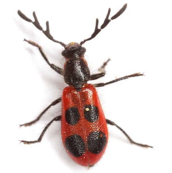 Pelonides quadripunctata (Say) - Pelonides quadripunctata - male