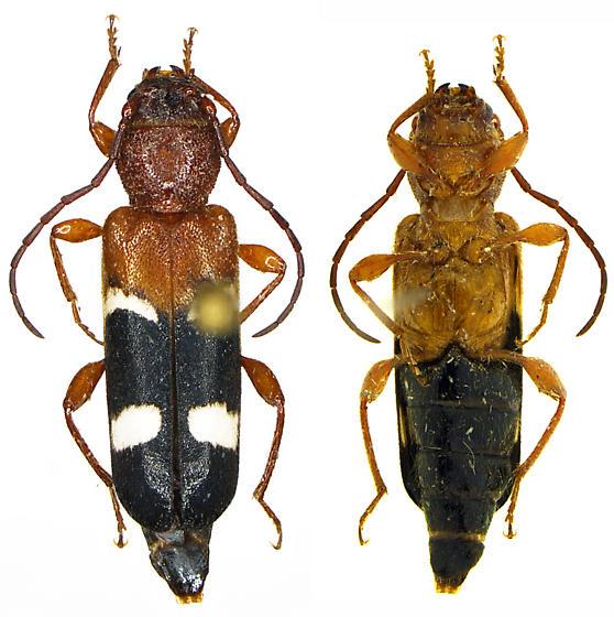 Phymatodes varius - female