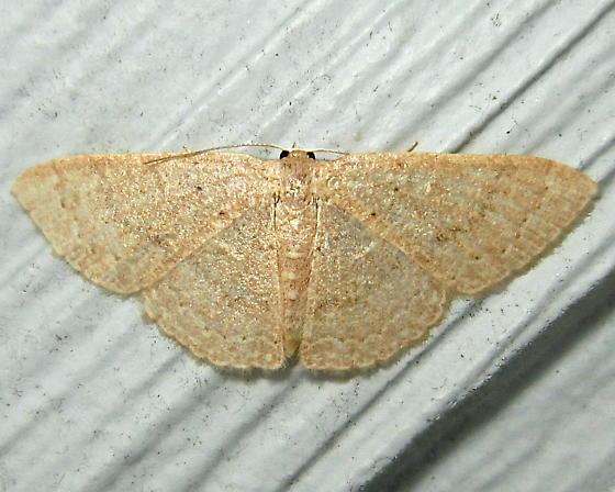 Common Tan Wave - Hodges #7132 (Pleuroprucha insulsaria) - Pleuroprucha insulsaria - female