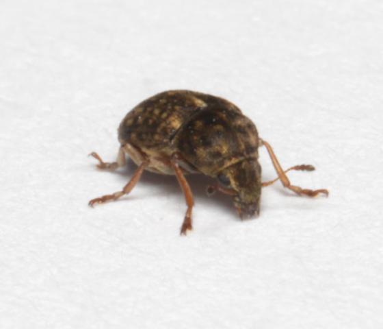 Anthribidae, frontal - Trigonorhinus limbatus