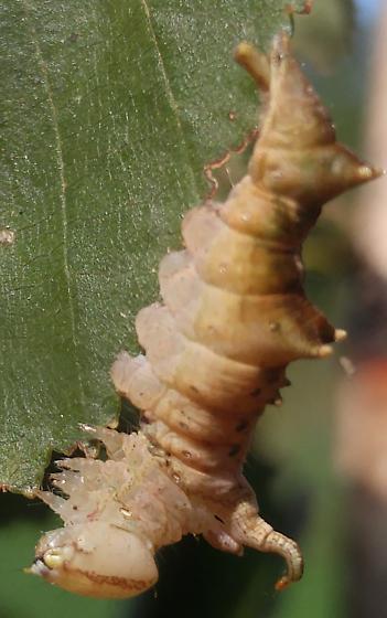 Red-Washed Prominent? - Oligocentria semirufescens