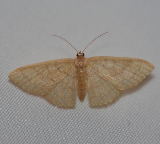 Common Tan Wave 2 - Pleuroprucha insulsaria - female