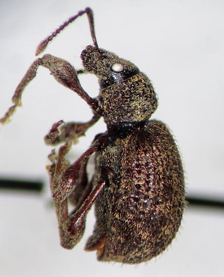 Otiorhynchus (1216857) - Otiorhynchus crataegi