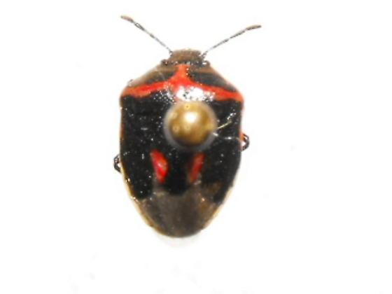 Wee Harlequin bug - Cosmopepla lintneriana