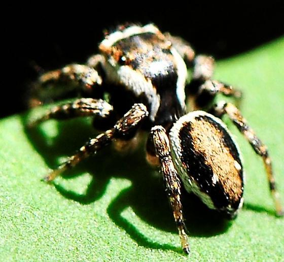 Salticidae - Jumping Spiders - Evarcha hoyi