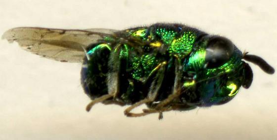 Stubby and green - Euperilampus triangularis