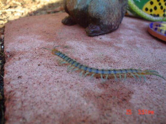 blue leg centipede - Scolopendra polymorpha
