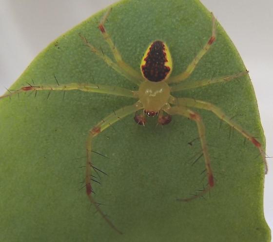 Unknown Crab spider - Araneus alboventris