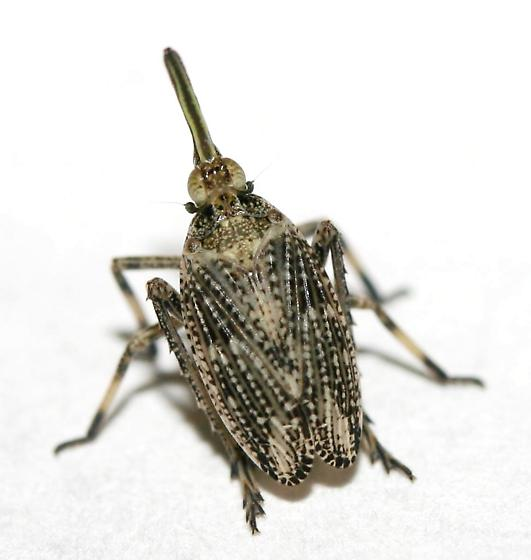 Scolops robustus? - Scolops pungens