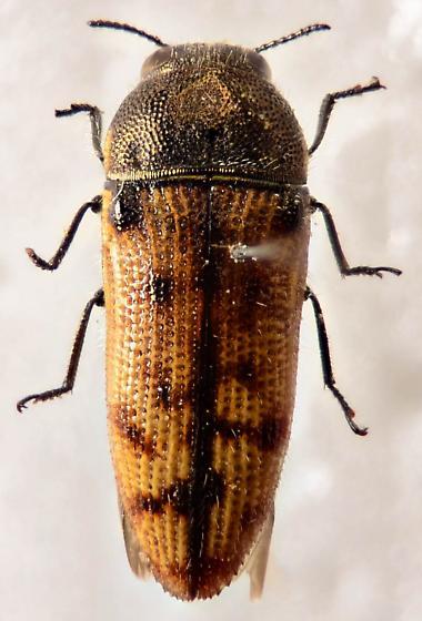 Buprestid 3 - Acmaeodera immaculata