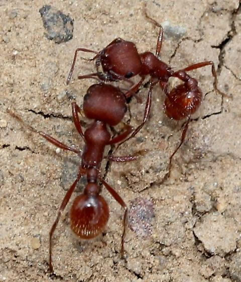 Pogonomyrmex - Pogonomyrmex occidentalis