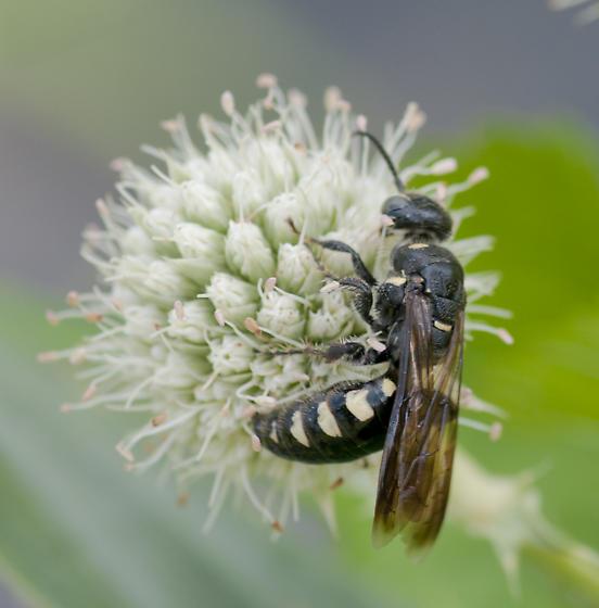 Wasp on Eryngium - Myzinum obscurum - female